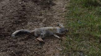 Carcasse di volpi, cinghiali e ovini: scoperta la discarica dei bracconieri